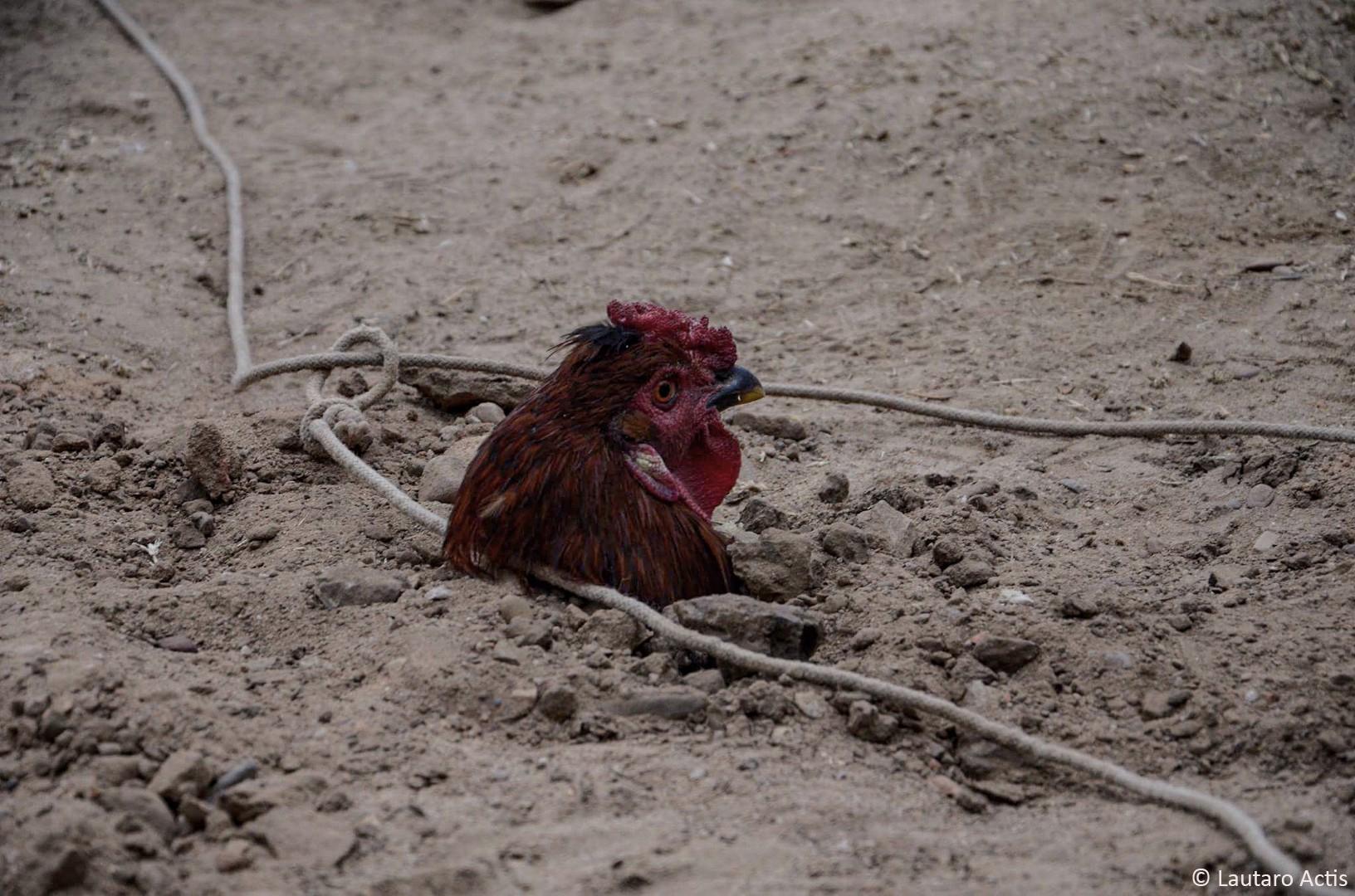 Juego de la gallina, la recompensa (2) ©